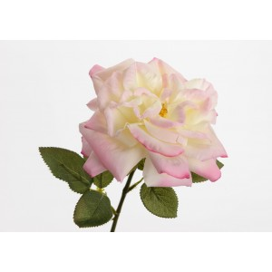 Roža ROZA VRTNICA 139683